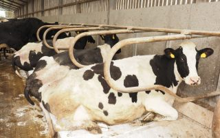 Mastitis prevention with cubicle lime