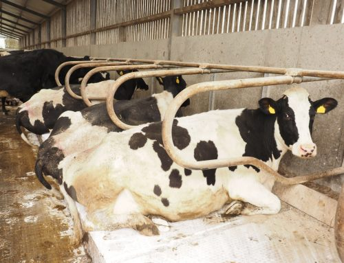 Why cubicle lime is key to mastitis prevention